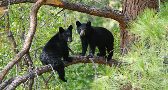 Black Bear Cubs in Alaska