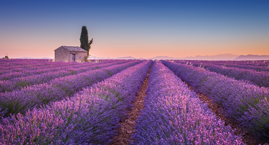 Lavendar field in Provence France at Sunset